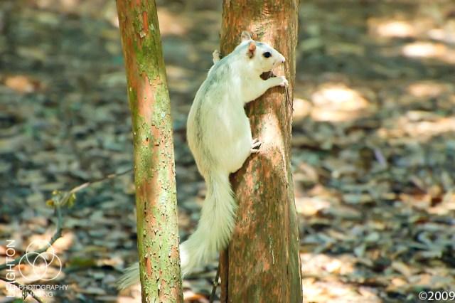 white fox squirrel