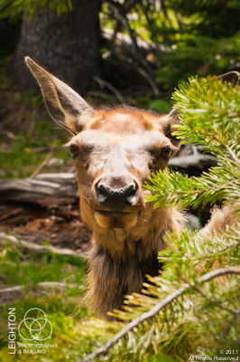 Eye to Eye with a Wild Elk Calf
