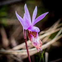 Native Orchids of the Pacific Northwest