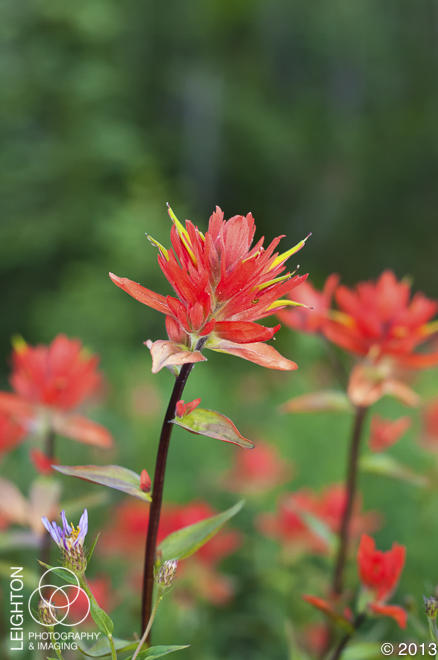Great Red Paintbrush