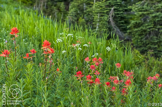 Indian Paintbrush - Botany's Most Beautiful Opportunist