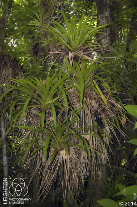 West Indian Tufted Airplants (Guzmania monostachia)