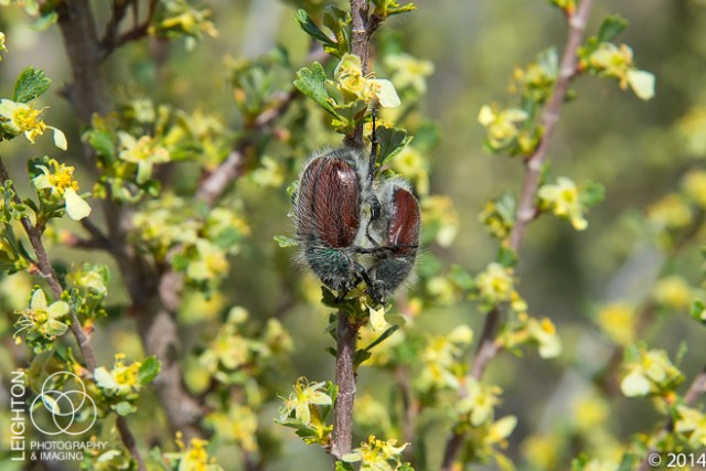 Little Bear Beetle