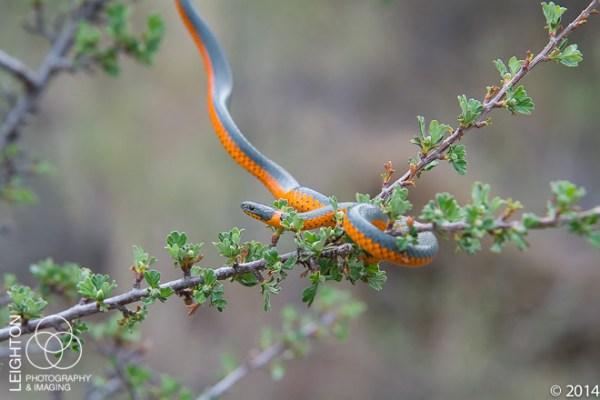 Northwestern Ringneck Snake
