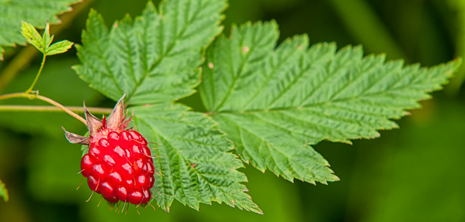 The Pacific Northwest's Humble & Edible Salmonberry - Including Recipes!