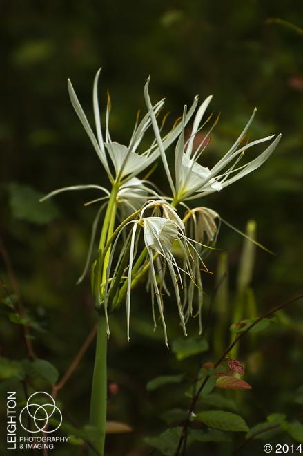 Coastal Carolina Spiderlily