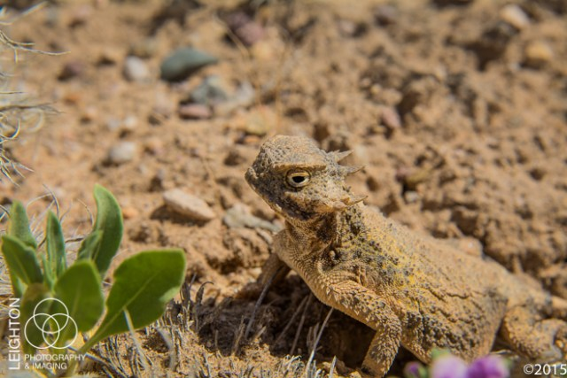 Round-tail Horned Lizard
