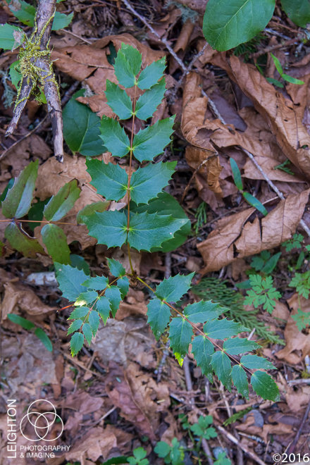 Dwarf Oregon-Grape
