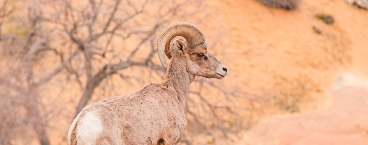 Desert Bighorn Sheep Galore!!!!