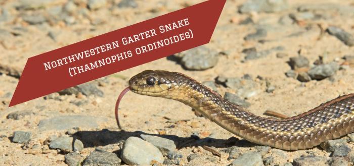 northwestern-garter-snake