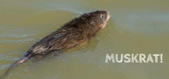 Muskrat - Leighton Photography & Imaging
