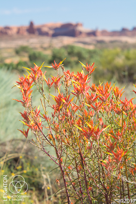 Wyoming Indian Paintbrush (Castilleja linariifolia)