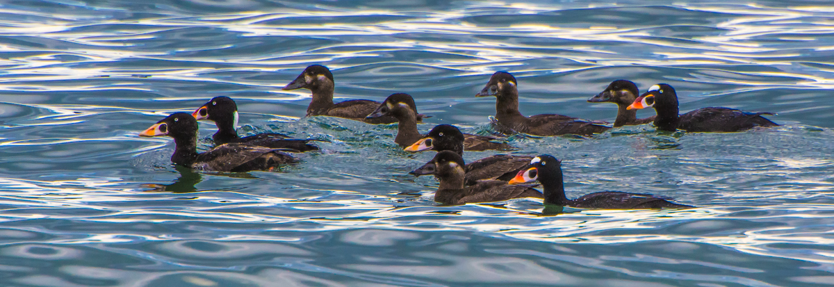 Surf Scoters - My Favorite Pacific Sea Duck!