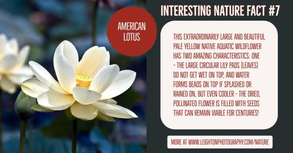 Interesting nature facts 7 american lotus us with just one or two interesting nature facts that you might not know about if you want to find out even more simply click on the links below mightylinksfo