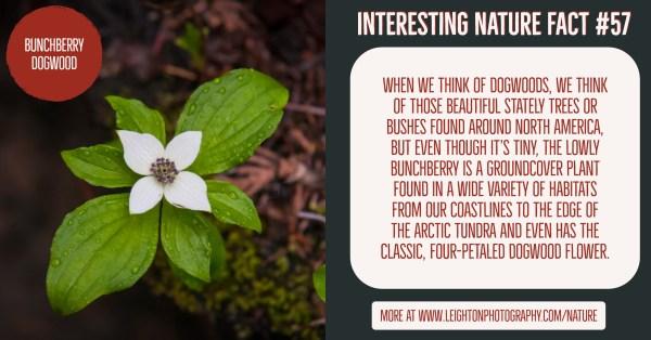 Bunchberry Dogwood