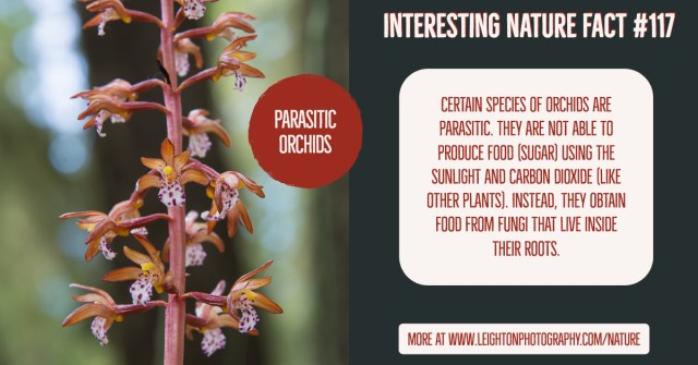 Parasitic Orchids