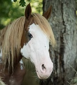 DaVinci – Ready For Adoption – Companion Horse or Retraining*