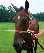 Bently – Ready For Adoption – Companion Horse*