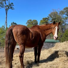 Wilbur – Rideable for Light Riding – In Need of Sponsors