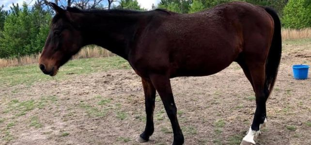 Iffy – Companion Horse – In Need of Sponsors