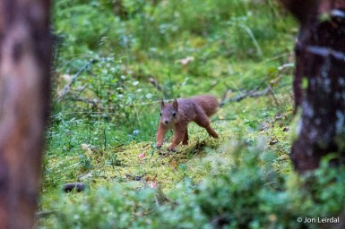 The common red squirrel
