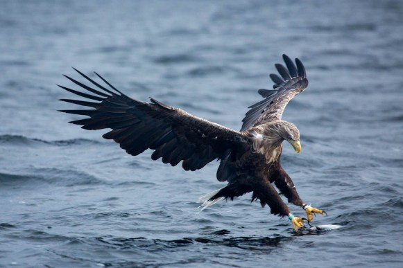 Another white-tailed eagle grabbing fish