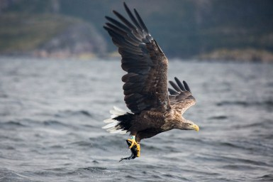 White-tailed eagle in profile