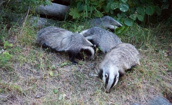 Badger family