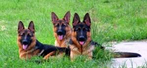 3-german-shepherd-litter-mates