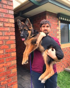 german-shepherd-long-coat-puppy-girl-kodi-5mths
