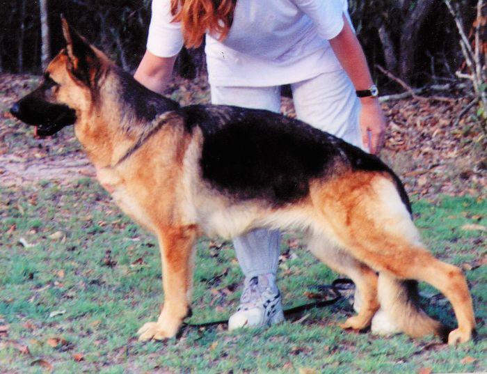 german-shepherd-female-show-dog-Dam-of-Zpartacus