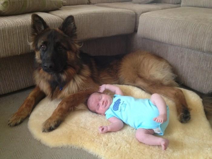 german-shepherd-male-long-coat-with-little-baby