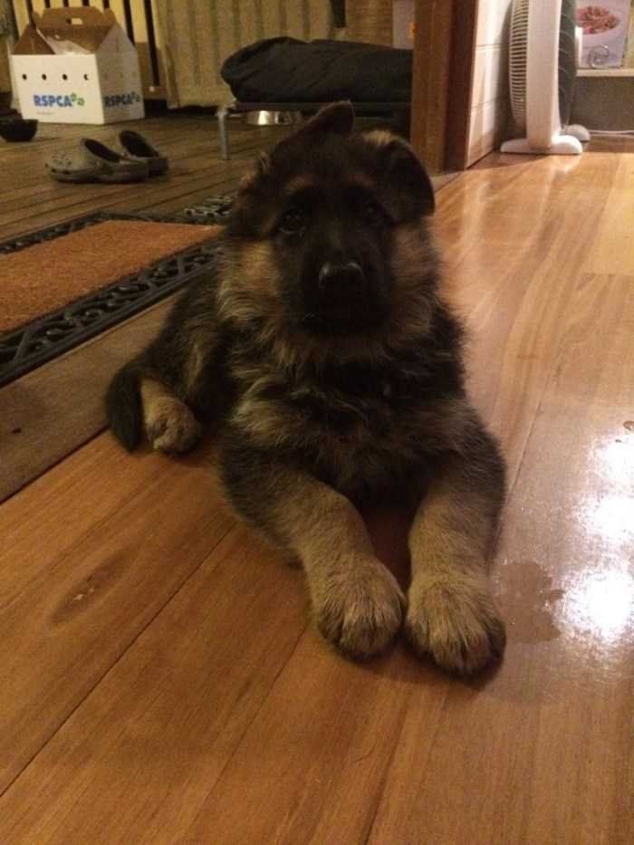 german-shepherd-male-puppy-with-lovely-coat