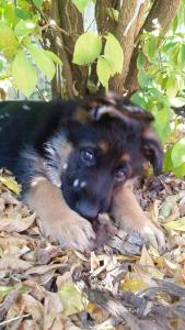 german-shepherd-puppy-in-gardens
