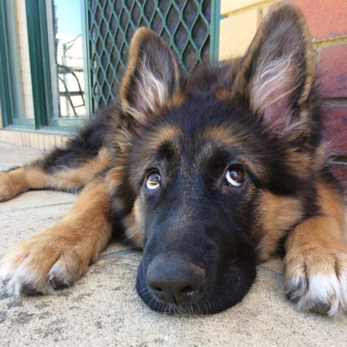 who-me-cute-german-shepherd-female-long-coat-puppy-2