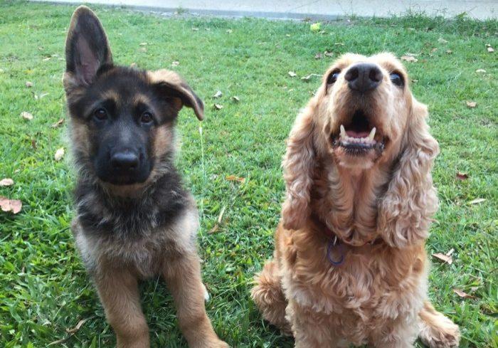 german-shepherd-pup-with-his-cocker-spaniel-bestie