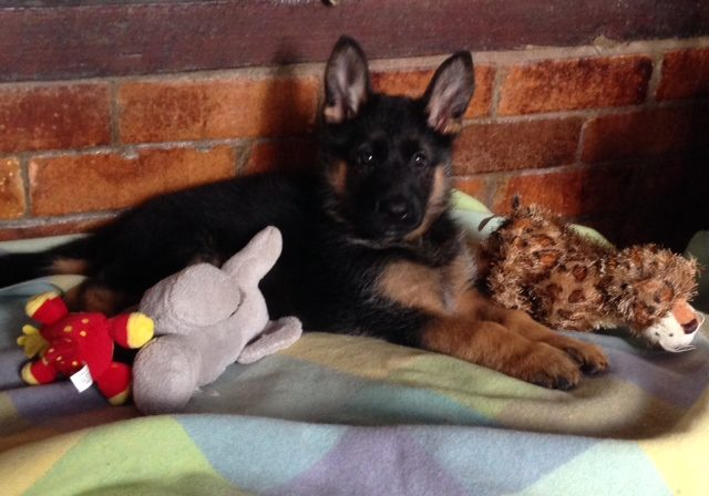 german-shepherd-puppy-with-all-her-toys