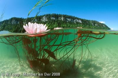 montier 2008 m loup a fleur d eau