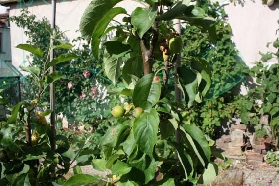 arbres_fruitiers_simongouin