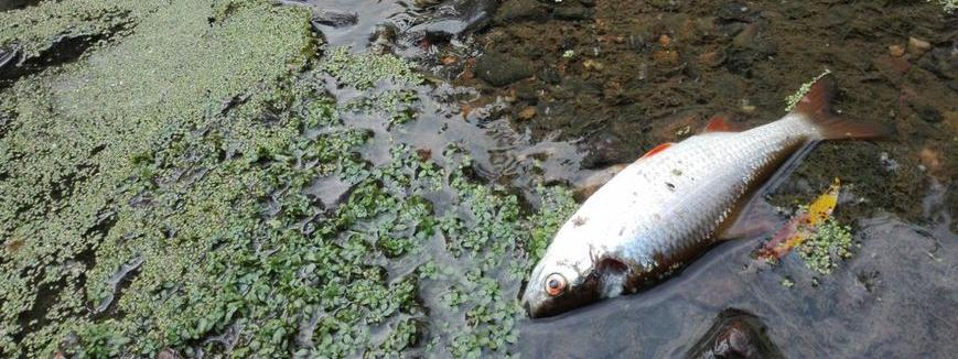 Un rejet de l'usine Lactalis provoque la mort de plusieurs centaines de poissons