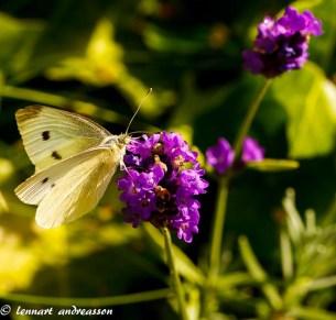 Fjäril på vår sommaräng-3