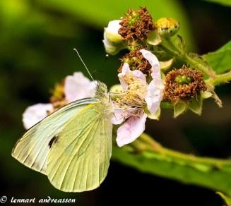 Fjäril på vår sommaräng