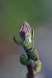 Valnötblad