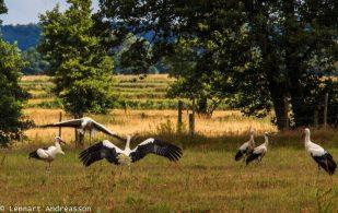 Storksläpp i Skåne