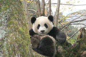Ähtäri Zoon Lumi on suosituin panda Kiinan ulkopuolella