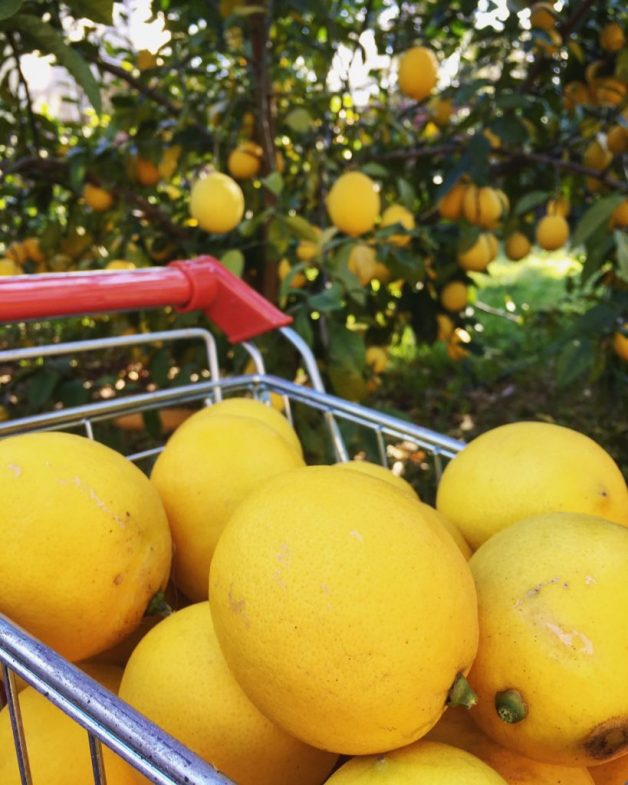 Harvest time for Meyer Lemons