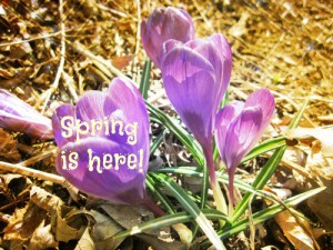 Spring crocus (2)