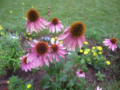 Purple coneflowers in my garden this summer