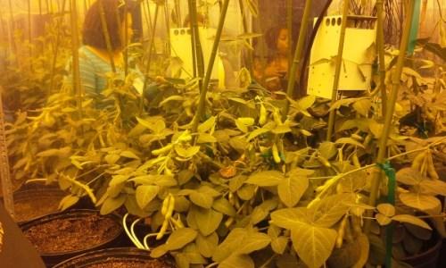 Soybean growing chamber, simulating a hot, humid environment.