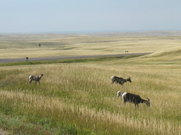 Bighorn Sheep, ewes and lambs